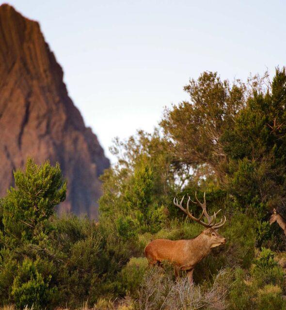 Ciervo colorado, Estancia Arroyo verde.
